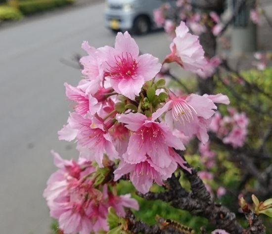 1月、サクラの開花