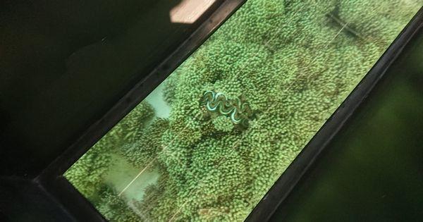 シャコガイを観察