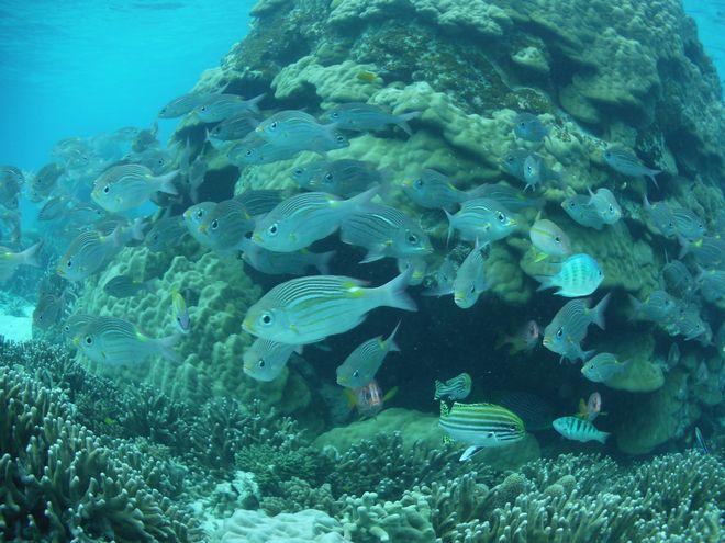 ハマサンゴに群れるノコギリダイ