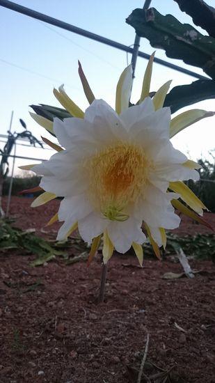大きなラッパみたいな花