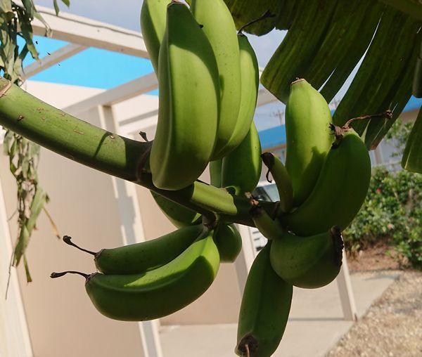 バナナ、すくすく成長中