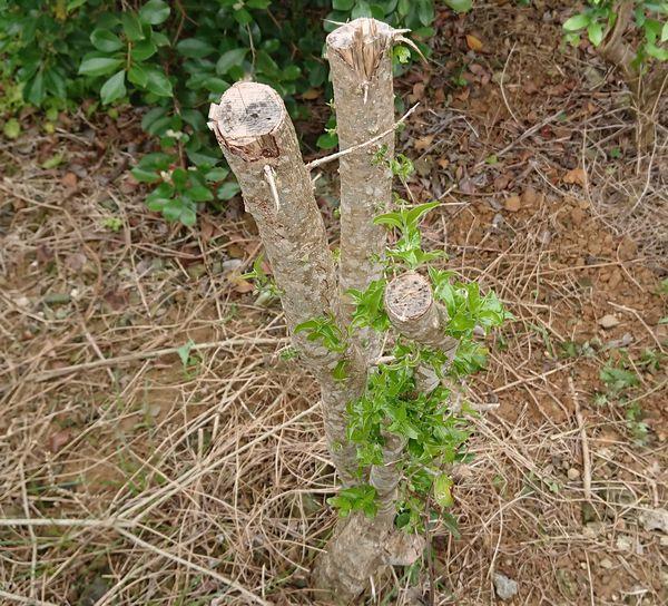 葉っぱが増え始めてきたアセロラの木