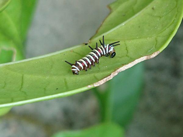 庭では、オオゴマダラの幼虫を発見です