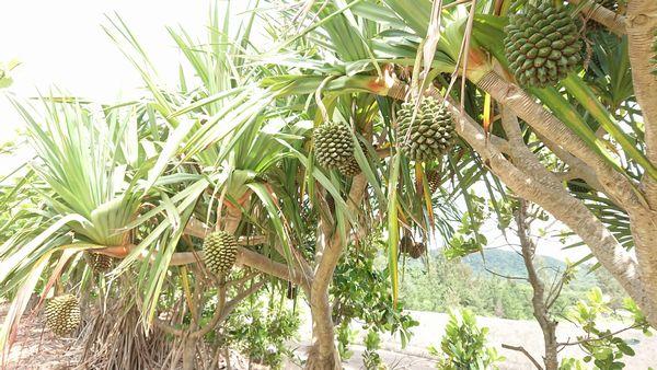 タコノアシの実が豊作