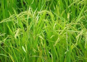 6月の石垣島は、お米の収穫シーズン♪