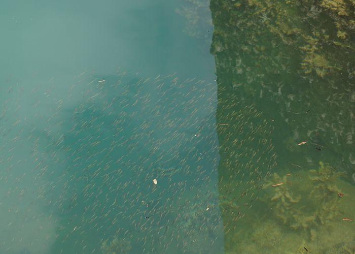小さいお魚さんがいっぱい群れています。