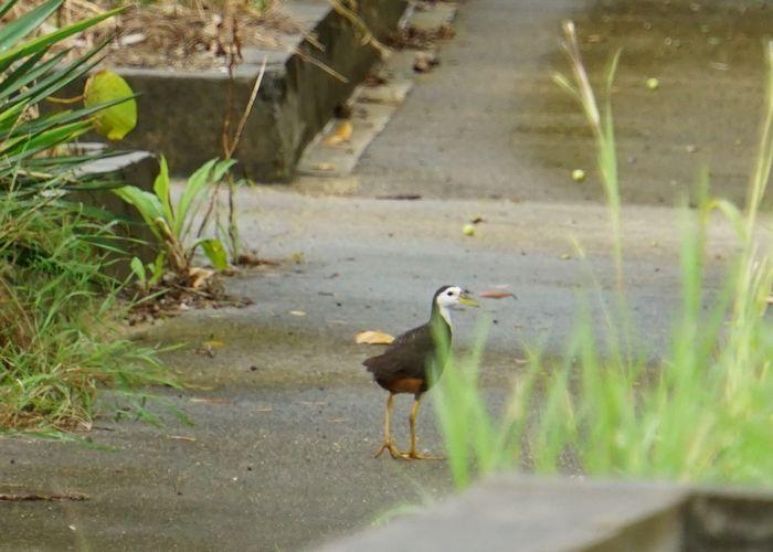 雨の後はクイナさんもお散歩