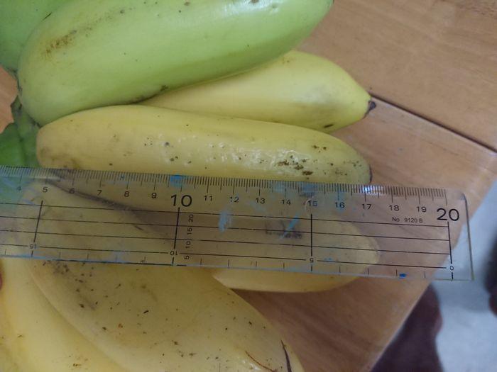 20cmに到着しそうな島バナナ